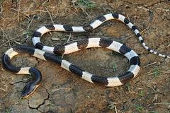 Bé 22 ngày chết vì rắn cắn, sự thật về lời đồn rắn thích mùi sữa mẹ