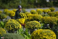 Cúc mâm xôi cháy hàng, giá cao kỷ lục tại làng hoa lớn nhất miền Tây