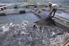 Nuôi những 'thủy quái' sông Đà to như bắp đùi, ăn tốn 1 tỷ đồng/tháng