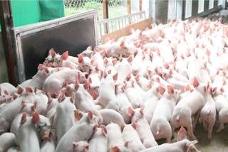 IFC giúp cải thiện khả năng chống chịu dịch bệnh cho ngành chăn nuôi