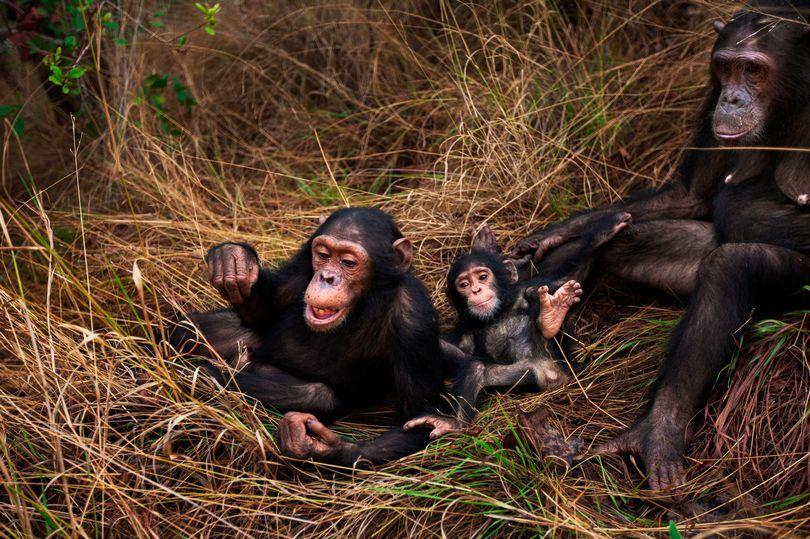 Khách sạn,Châu Phi,Cộng hoà Congo,vượn,thịt vượn,động vật hoang dã,bảo tồn động vật