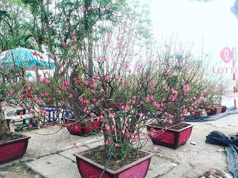 hoa đào,Tết nguyên đán 2020,tết canh tý,trồng đào