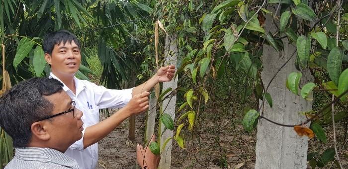 Trồng loài cây ra củ dài cả mét, trước ăn chống đói, nay là đặc sản