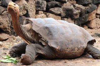 Cụ rùa 100 tuổi cứu sống cả giống loài nhờ miệt mài nhân giống suốt 50 năm