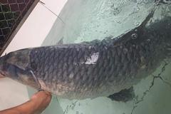 Đại gia Phú Thọ chi hơn chục triệu chỉ để mua một con cá 'khủng'