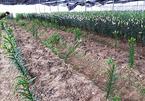 Chết đứng vì 1.400 cây hoa ly bán Tết bị kẻ gian nhổ sạch trơn