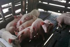 American, Vietnamese experts develop African Swine Fever vaccine