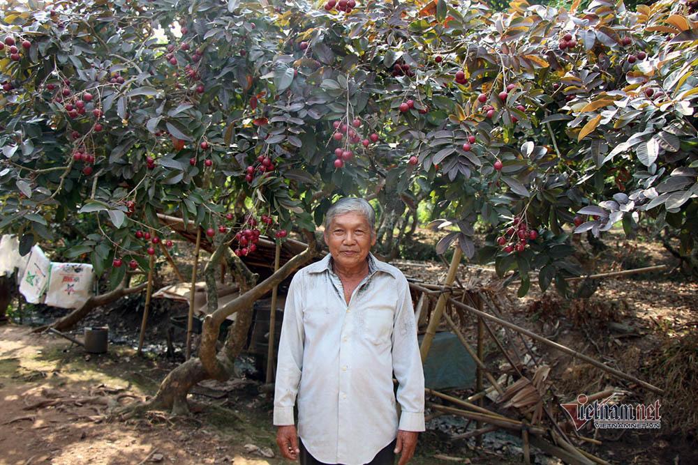 Cả vườn có 100kg nhãn tím, đánh ô tô xin mua nhưng bị từ chối