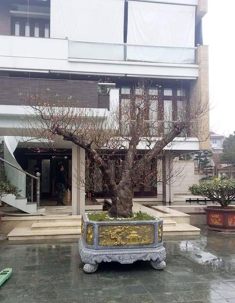 Đại gia Hà Nội chi gần trăm triệu thuê đào độc, lạ chơi Tết