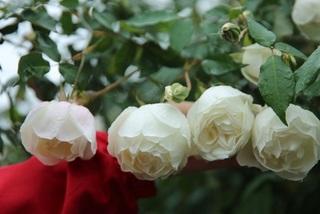 'Săn'hồng cổ 60 năm tuổi, giá 250 triệu đồng chơi Tết Canh Tý