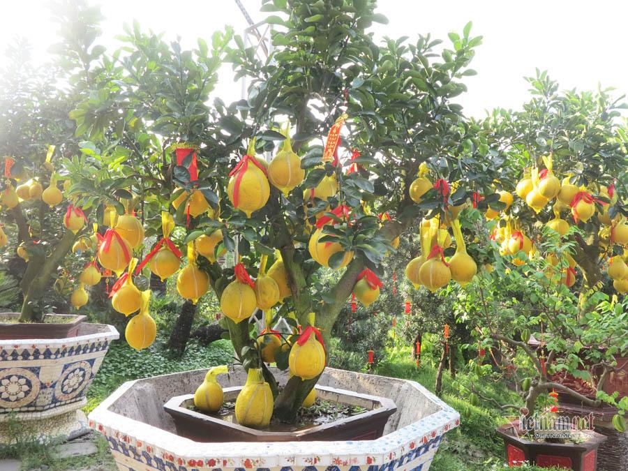 Bưởi Diễn bonsai 70 triệu đồng, đại gia Sài Gòn lùng mua không có