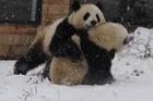 Xem cặp gấu trúc 'vật nhau' trong tuyết cực đáng yêu