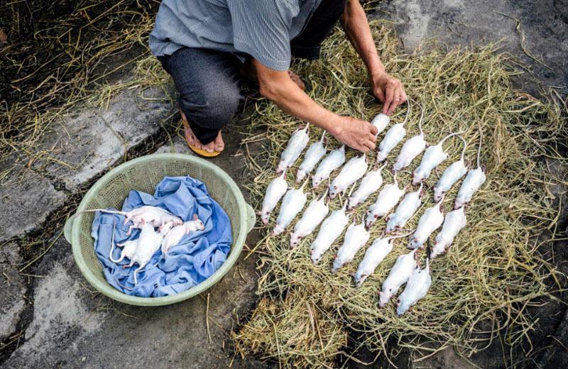 Tục lệ dâng thịt chuột cúng tổ tiên ngày Tết ở Hòa Bình
