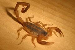 Khách mang 200 con bọ cạp sống lên máy bay, trăm người hoảng sợ