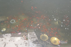 Tiễn cá 'lên trời', rác, tro bụi… ở lại, đen kịt mặt sông