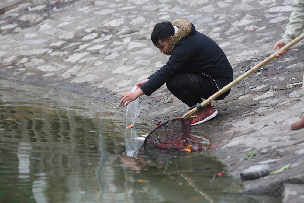 Ngày tiễn ông Táo, cá chép chết ngửa bụng hớt cả ngày không hết