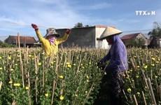 Chrysanthemum season in full bloom in Khanh Hoa