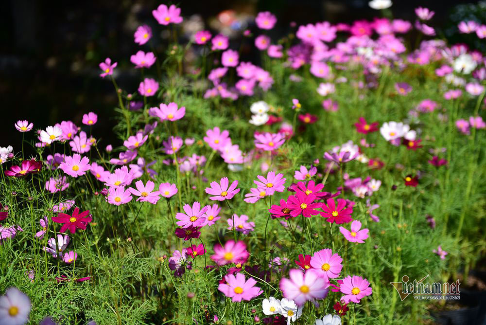 Ngàn màu rực rỡ, làng hoa lớn nhất miền Tây đốn tim khách phương xa