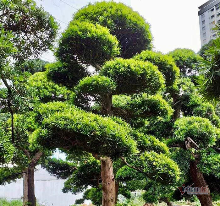 Vườn tùng Nhật bạc tỷ của đại gia giữa khu nhà giàu Sài Gòn