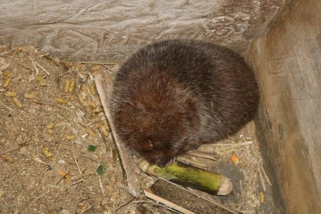 Năm nào cũng ăn Tết to nhờ nuôi cả ngàn con chuột nứa... bự