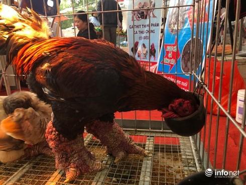 Kỳ lạ cặp chân gà Đông Tảo nở như súp lơ, được rao bán giá hơn 10 triệu