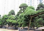 Vườn tùng Nhật hàng trăm tỷ của đại gia giữa khu nhà giàu Sài Gòn