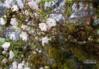 Kiêu hãnh nhất chợ hoa Tết, mai đá Sa Pa rêu bọc kín thân