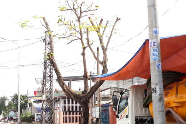 Sát Tết, cây xanh bỗng bị tỉa trụi lá trên khắp tuyến phố Đông Hà