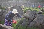 Hái 'mứt' biển, kiếm tiền triệu mỗi ngày ở làng chài Nam Ô