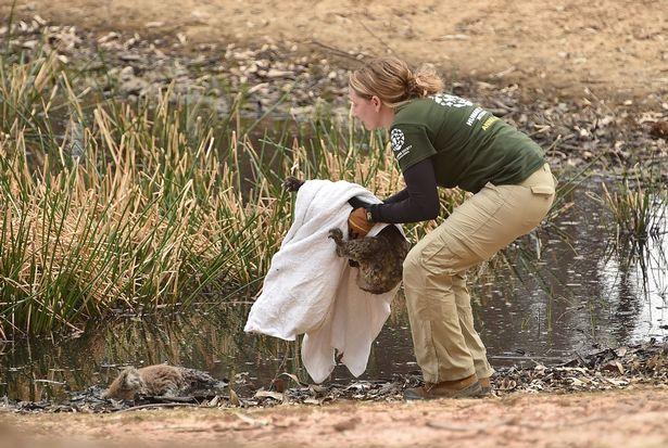 Hình ảnh đau lòng gấu Koala ôm đầu tiếc thương người bạn chết do cháy rừng