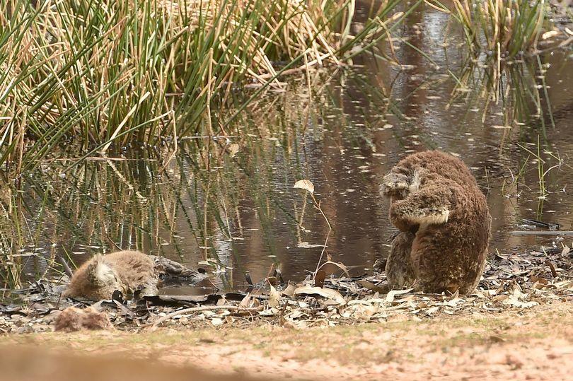 Cháy rừng ở Úc,cháy rừng Australia,cháy rừng,thảm hoạ,thiên tai,gấu koala,động vật,động vật hoang dã