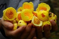 Loại trà Việt cổ đắt như 'vàng ròng' nhà giàu thưởng Tết