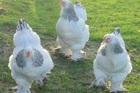Giống gà có cái tên quý tộc, có thể to bằng đứa trẻ, giá lên tới 5 triệu/con