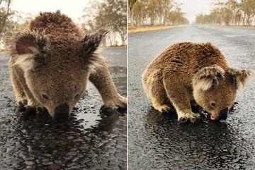 Nghẹn lòng koala liếm nước trên mặt đường sau thảm họa cháy rừng Australia