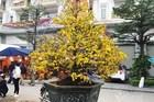 Chậu mai vàng rực nặng 2 tấn, giá 110 triệu tại chợ hoa Hà Nội