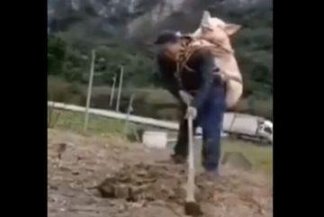 Cõng lợn đi làm đồng vì sợ bị mất trộm