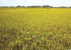 It's a no-grainer: Time for Vietnam to create a rice brand