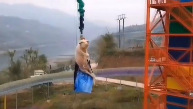 Lợn bị bắt mặc áo người dơi nhảy từ tháp cao 68m gây phẫn nộ