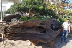 Cho tùng mọc trên khối gỗ lũa sao đen, chủ nhân 'hét giá' tới 1,1 tỷ