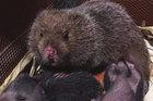 Chuyện lạ về loài chuột khổng lồ nặng 2 kg ở Sơn La