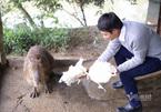 Chuột khổng lồ ở Hà Nội, nặng gần 50kg ăn rau và thích bơi lội