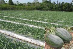Southern farmers have fruitful Tet watermelon crop