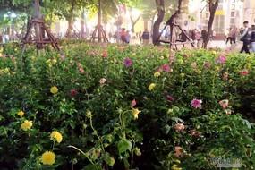 Chuyện lạ ven hồ Gươm Tết này, vườn hoa vẹn nguyên sau đêm giao thừa