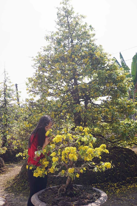 Trăm cây mai đại thụ bung nở vàng rực ngày mùng 1 Tết