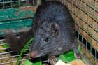 Bí ẩn loài chuột đá tồn tại suốt 11 triệu năm trong rừng Phong Nha - Kẻ Bàng?