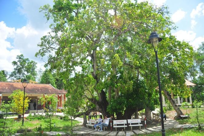 Lạ lùng cây lộc vừng 300 năm tuổi ở miền Tây lần đầu nở hoa đúng dịp Tết