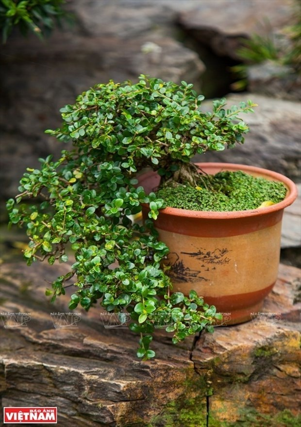 Bonsai captures vitality of nature