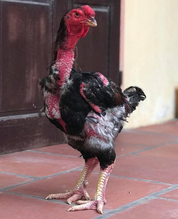 Giống gà Việt quý hiếm có cân nặng 'khủng', con giống bán 15 triệu/con