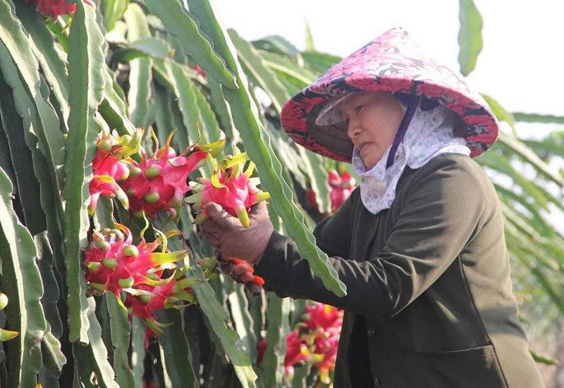 Sợ virus corona, khách Trung Quốc ngừng mua, thanh long Việt ế hàng
