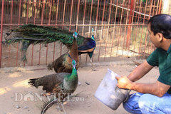 Nurturing peacocks at home bringing high income to a family in Nam Dinh